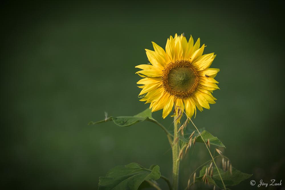 Noch ein Sonnenblümchen