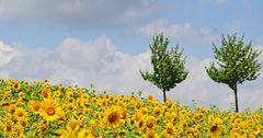 Noch ein Sonnenblumenbild.