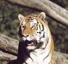 ....noch ein Tiger