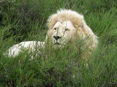 Noch ein weisser Löwe (nicht ausgestopft !)