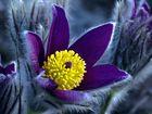 Noch eine andere Blüte der Küchenschelle
