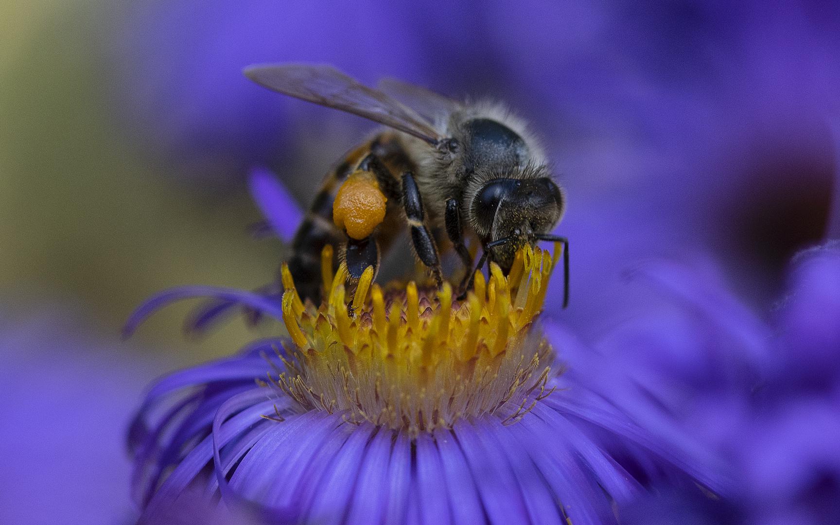 Noch eine Biene...