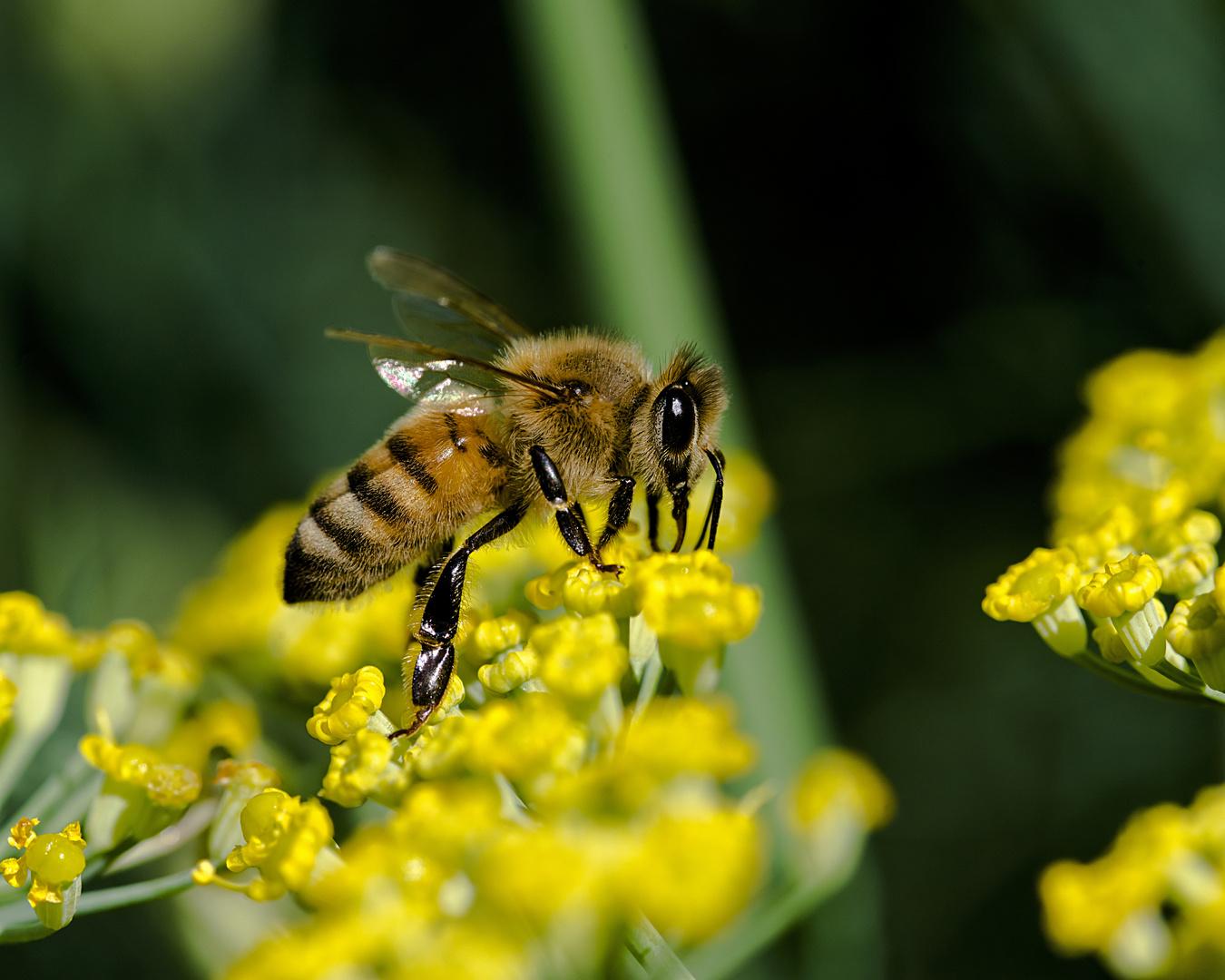 Noch eine Biene