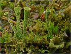Noch eine Echte Becherflechte (Cladonia pyxidata)