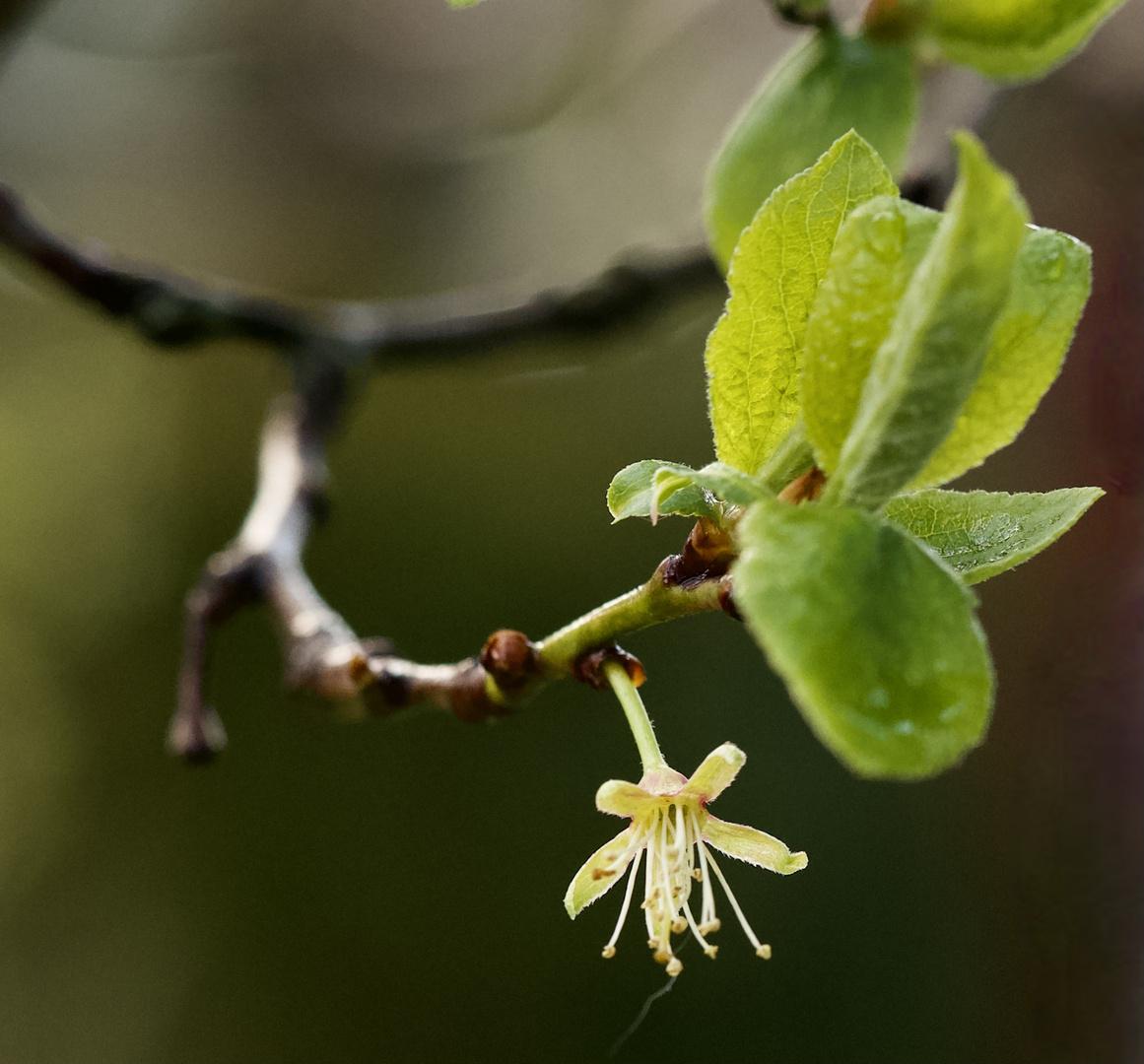 Noch eine einsame Blüte nach dem Regen zum Mittwoch