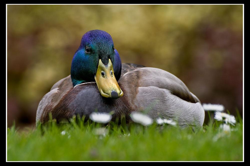 .... noch eine Ente