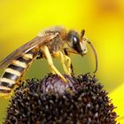 noch eine Furchenbiene