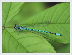 ... noch eine Libelle...