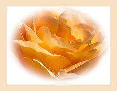 Noch eine Rose - diesmal in apricot