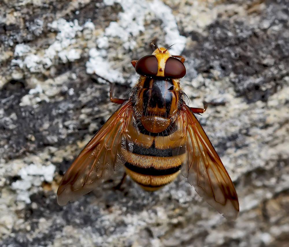 Noch eine sehenswerte Schwebfliege, die Gebänderte Waldschwebfliege (Volucella inanis) *