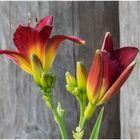 noch eine Taglilie