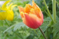Noch eine Tulpenschönheit