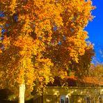 noch einmal aufgeflammt in der Herbstsonne