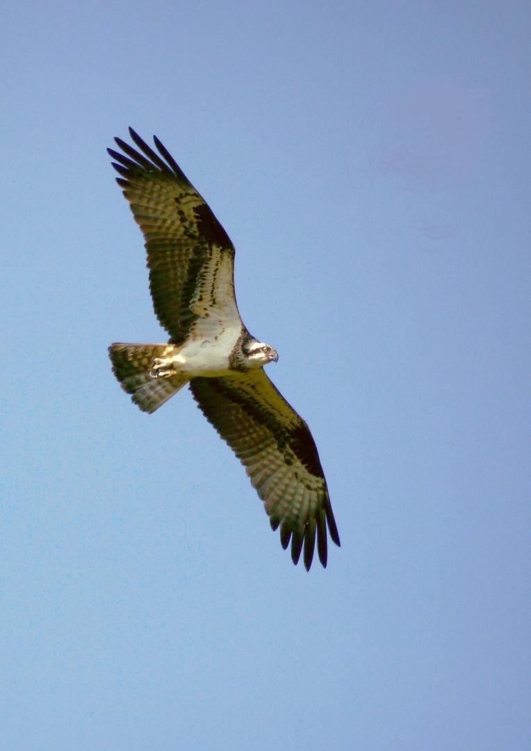 Noch einmal ein Flugbild: Fischadler, ... Foto & Bild ...