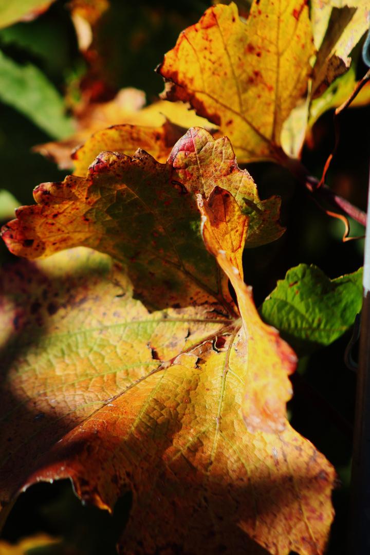 noch einmal gesehen werden wollen...das Herbstblatt