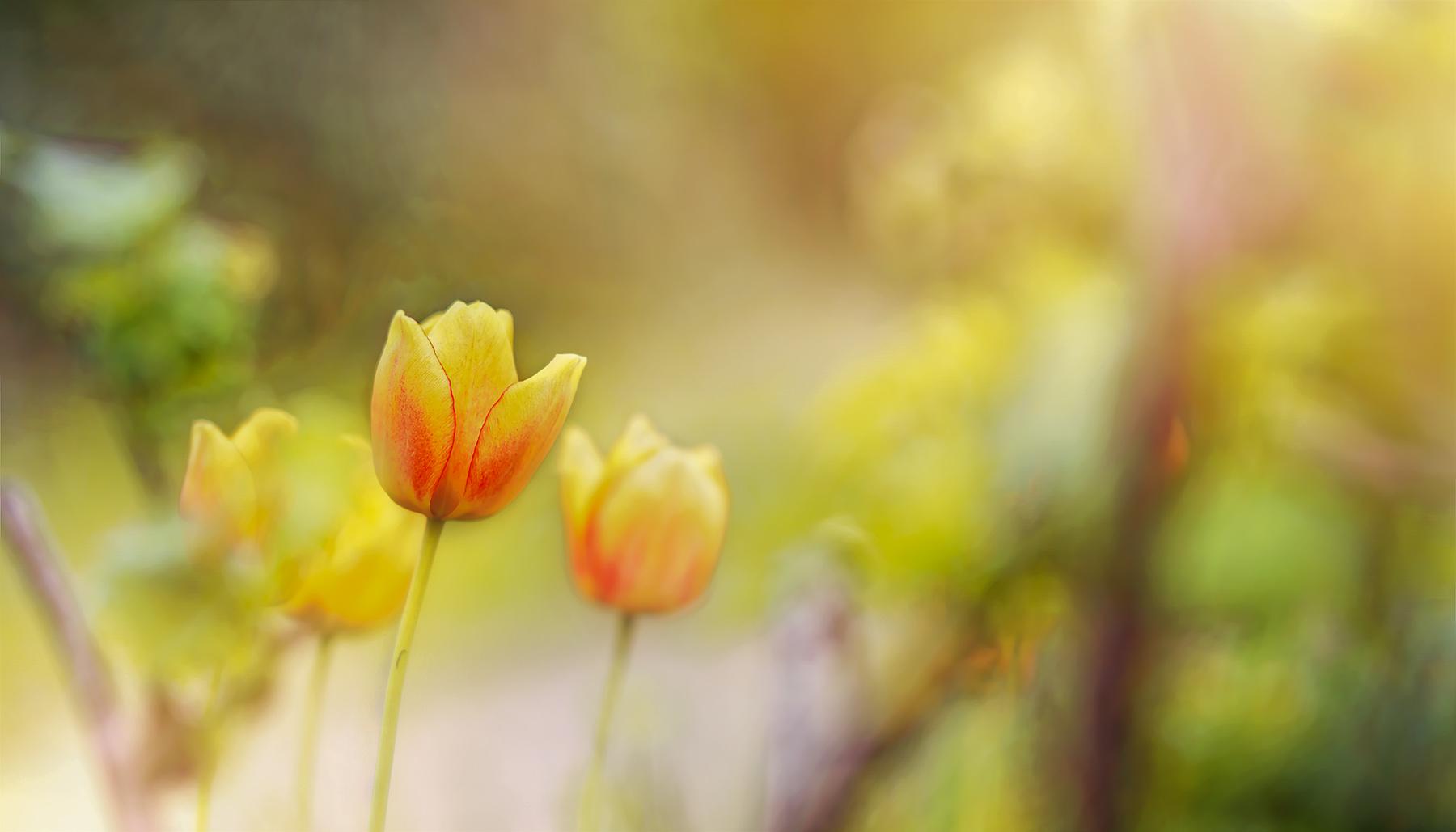 noch einmal tulpe ...