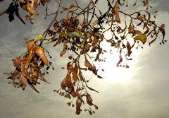 Noch hängen viele Samenstände an den Zweigen der Linde