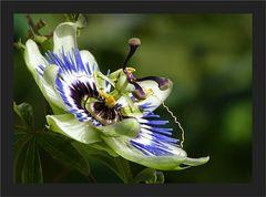 Noch immer blüht die Passiflora