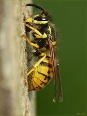 Noch immer holen die Wespen Baumaterial für ihr Nest.