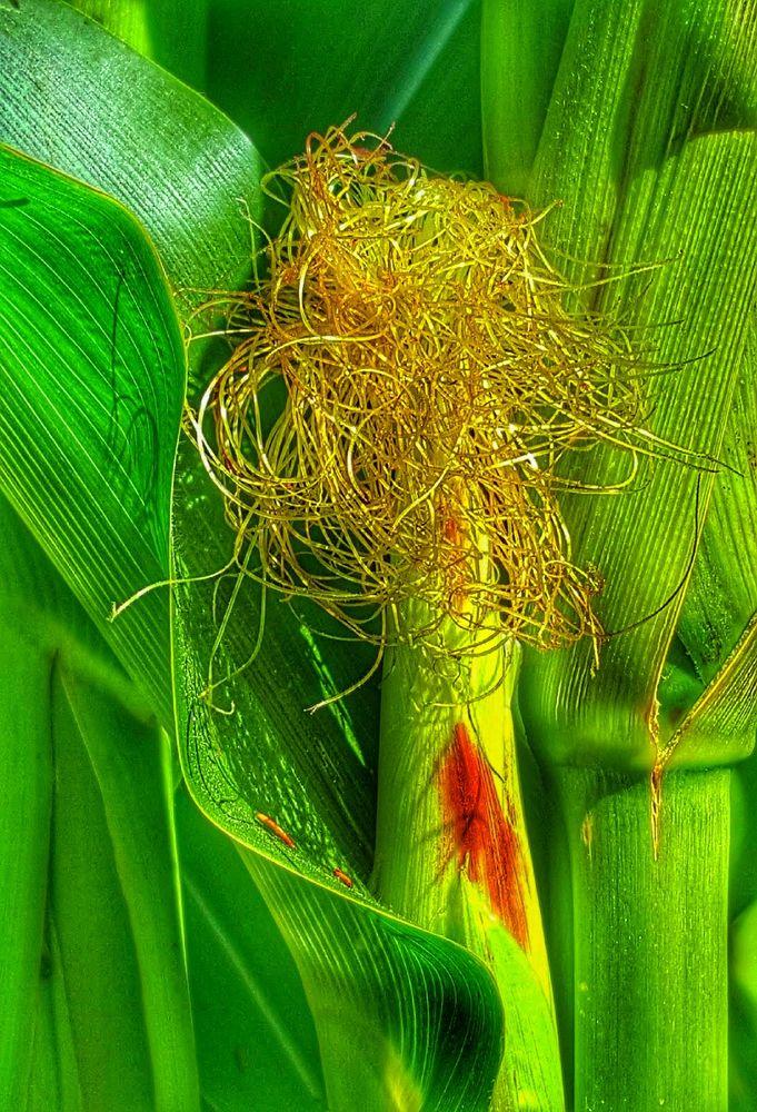 noch klein grün und haarig, später gelb, lecker und mit glatze
