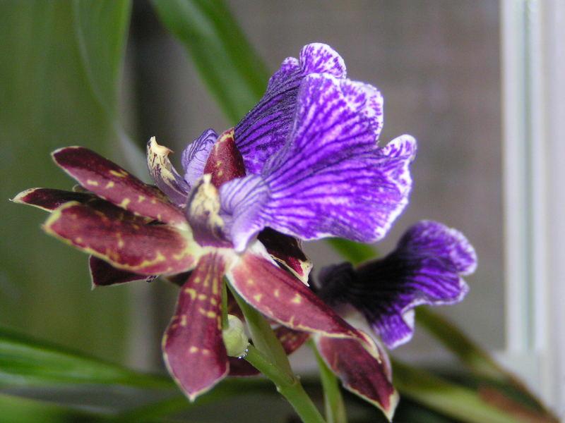 Noch mal eine Orchidee