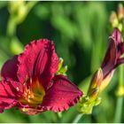 noch mal eine Taglilie
