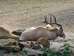 Noch mehr Faullenzerei im Zoo Hannover... ;)