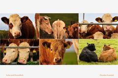... noch mehr freundliche Kühe ;-)