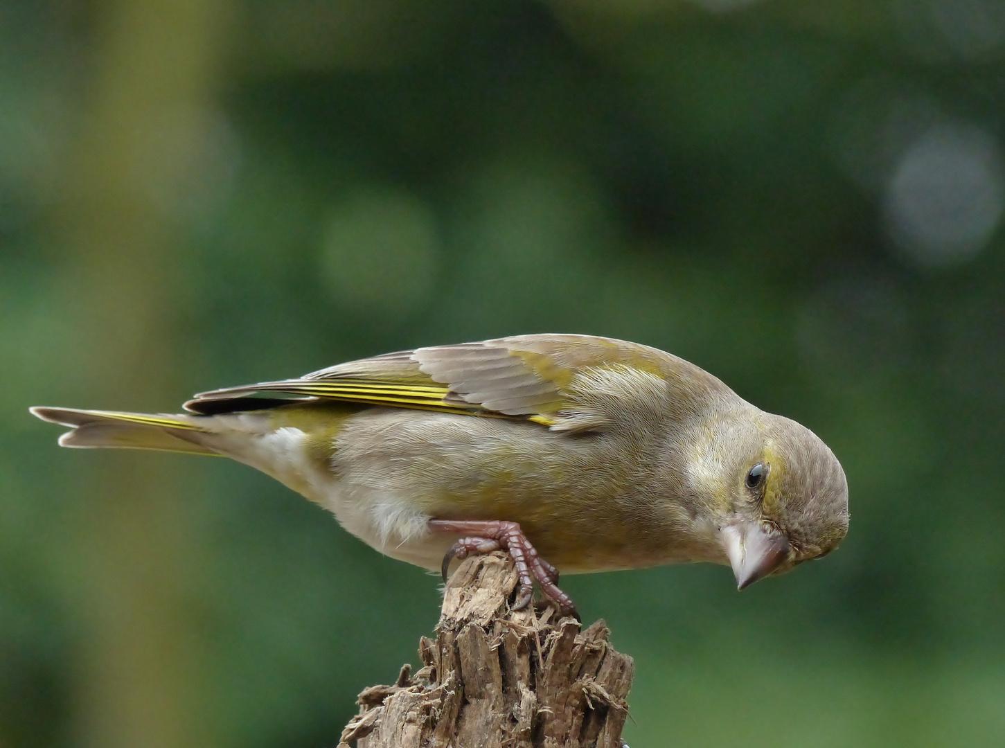 Noch mehr Grünfinken