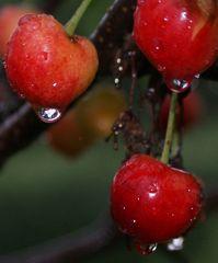 Noch mehr Kirschen im Regen