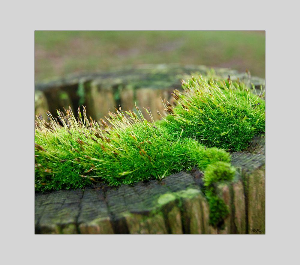 Noch mehr moos foto bild pflanzen pilze flechten for Moos bilder pflanzen
