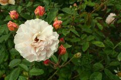 noch mehr Rosen