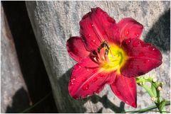 noch mehr Taglilien