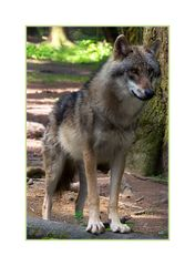noch n Wolf