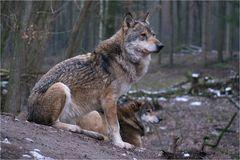 Noch 'n Wolfsbild...