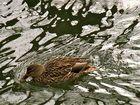 noch ne Ente