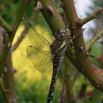 Noch ne Libelle - oder die gleiche nur anders