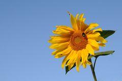 noch `ne Sonnenblume