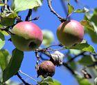 Noch nicht ganz reife Äpfel und manche sind schon verfault am Baum