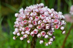...noch nie gesehene rosa Zwiebelblüte?