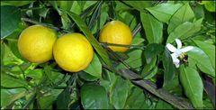 Noch sind sie gelb...die Orangen ...