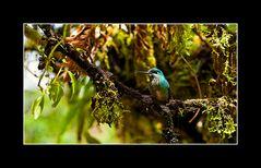 Nochmal ein Kolibri, Poas Volcano, Costa Rica