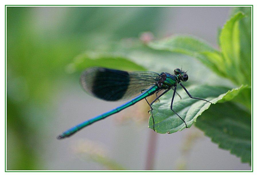 nochmal eine gebänderte Pracht-Libelle