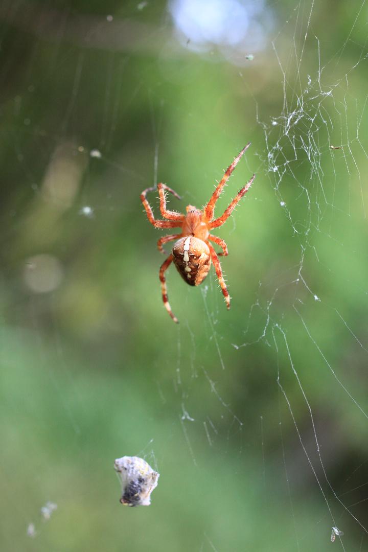 Nochmal große Spinne mit ihrer frisch eingewickelten Beute.