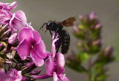 Nochmals eine Blaue Holzbiene auf den Blüten einer Flammenblume!
