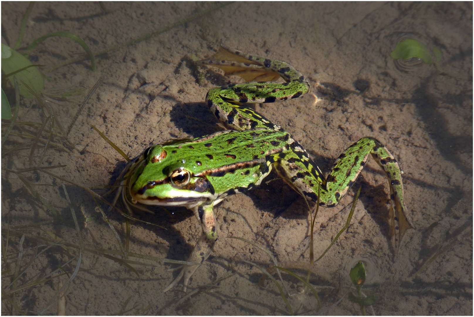 Noch`n Frosch