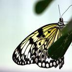 noch´n Schmetterling