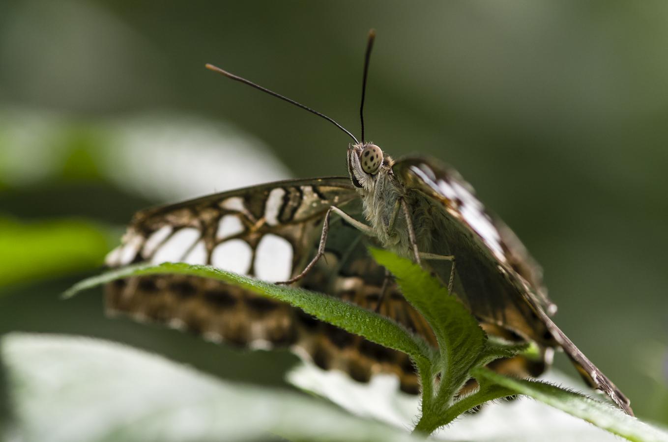 noch'n Schmetterling