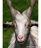 ....noname goat....
