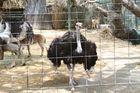 Nordafrikanische Strauß, Dubai Zoo, Dubai, Vereinigte Arabische Emirate